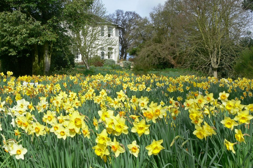 Daffodil's with house in the distance