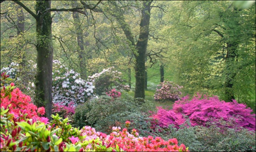 Rhododendrons and azaleas at Boconnoc