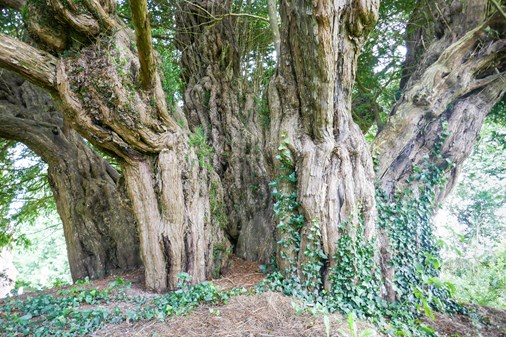 Fattest Yew Tree in Britain