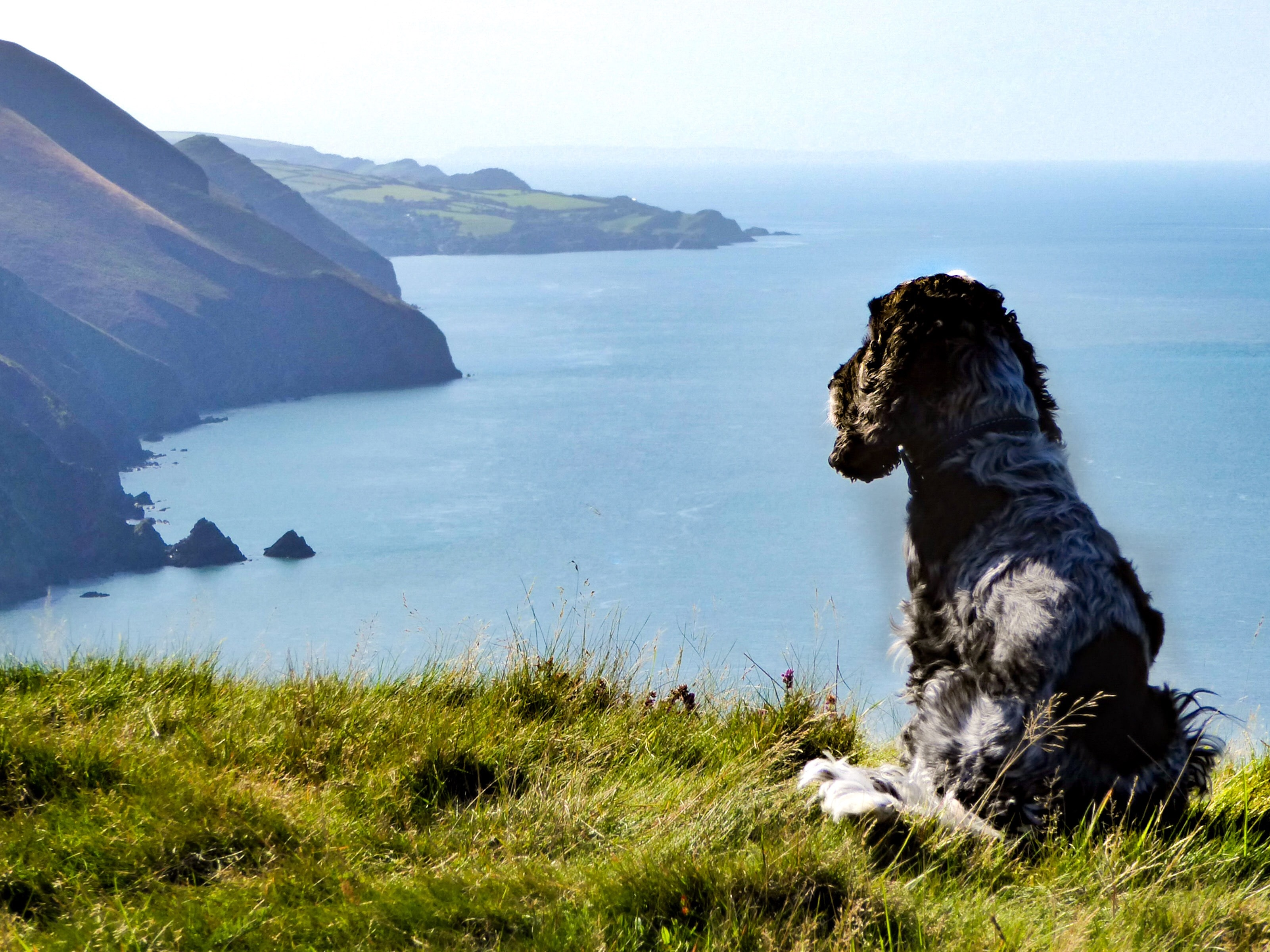 Dog looking out to sea in North Devon
