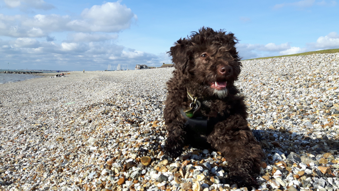 Dog with its tongue out on a pebble beach
